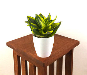 "Medium Yellow Birds Nest Snake Plant (Sansevieria Hahnii Black Star) in 4"" 3D Printed BioPot™"