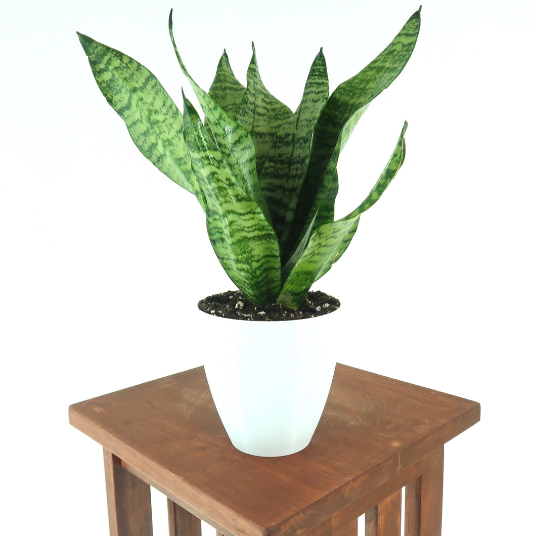 Large Snake Plant (Sansevieria robusta) in 6