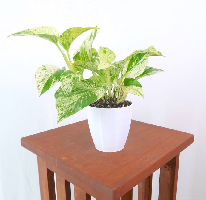 Marble Queen Pothos - Live Air Purifying Plant in 3D Printed BioPot