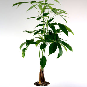 "Large Money Tree - SHIPS FREE -(Pachira Aquatica) in 6"" 3D Printed BioPot™"