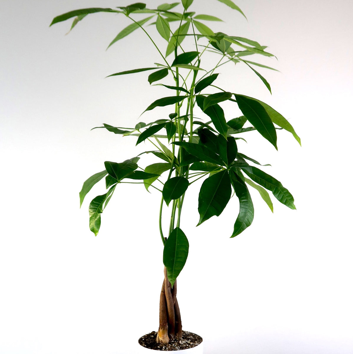 Money Tree Air Purifying Live Indoor Plant Pretty In Green