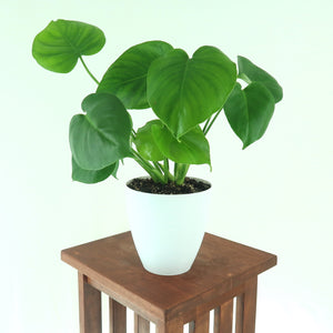 Monstera Deliciosa (Swiss cheese plant / Split-leaf Philodendron) Live Houseplant