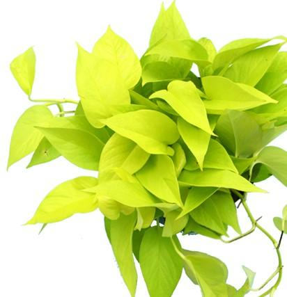 Neon Pothos - Air Purifying Live Plant - Houseplant - Pretty in Green Plants