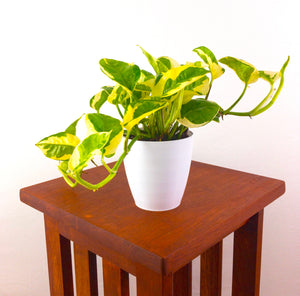 N'Joy Pothos - Live Air Purifying Plant in 3D Printed BioPot