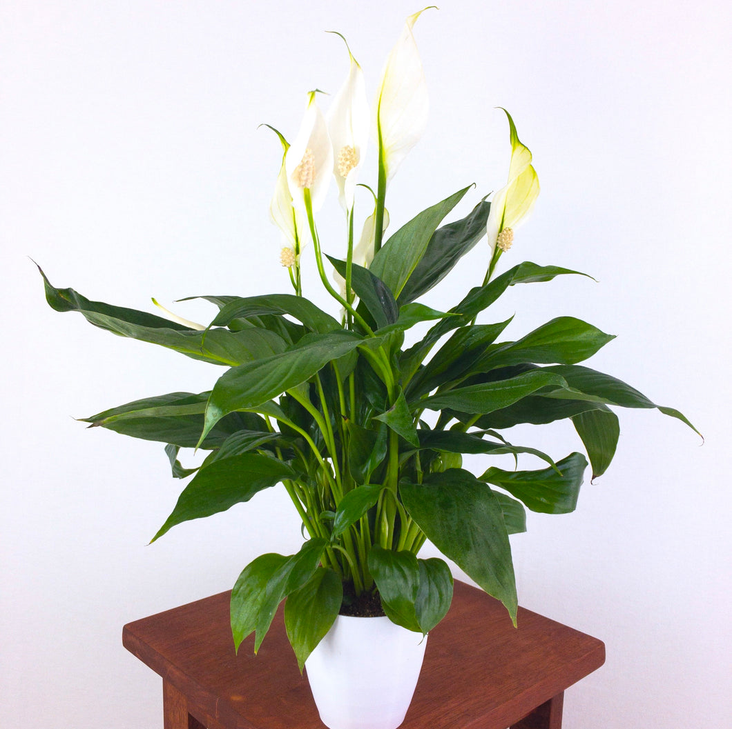 Medium Peace Lily (Spathiphyllum) in 4