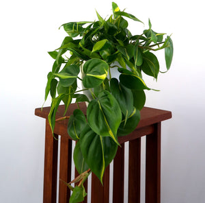 "Large Philodendron Brasil in 6"" 3D Printed BioPot™"