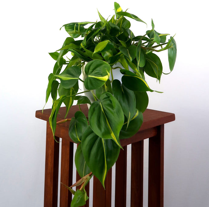Large Philodendron Brasil Live Air Purifying in 3D Printed BioPot