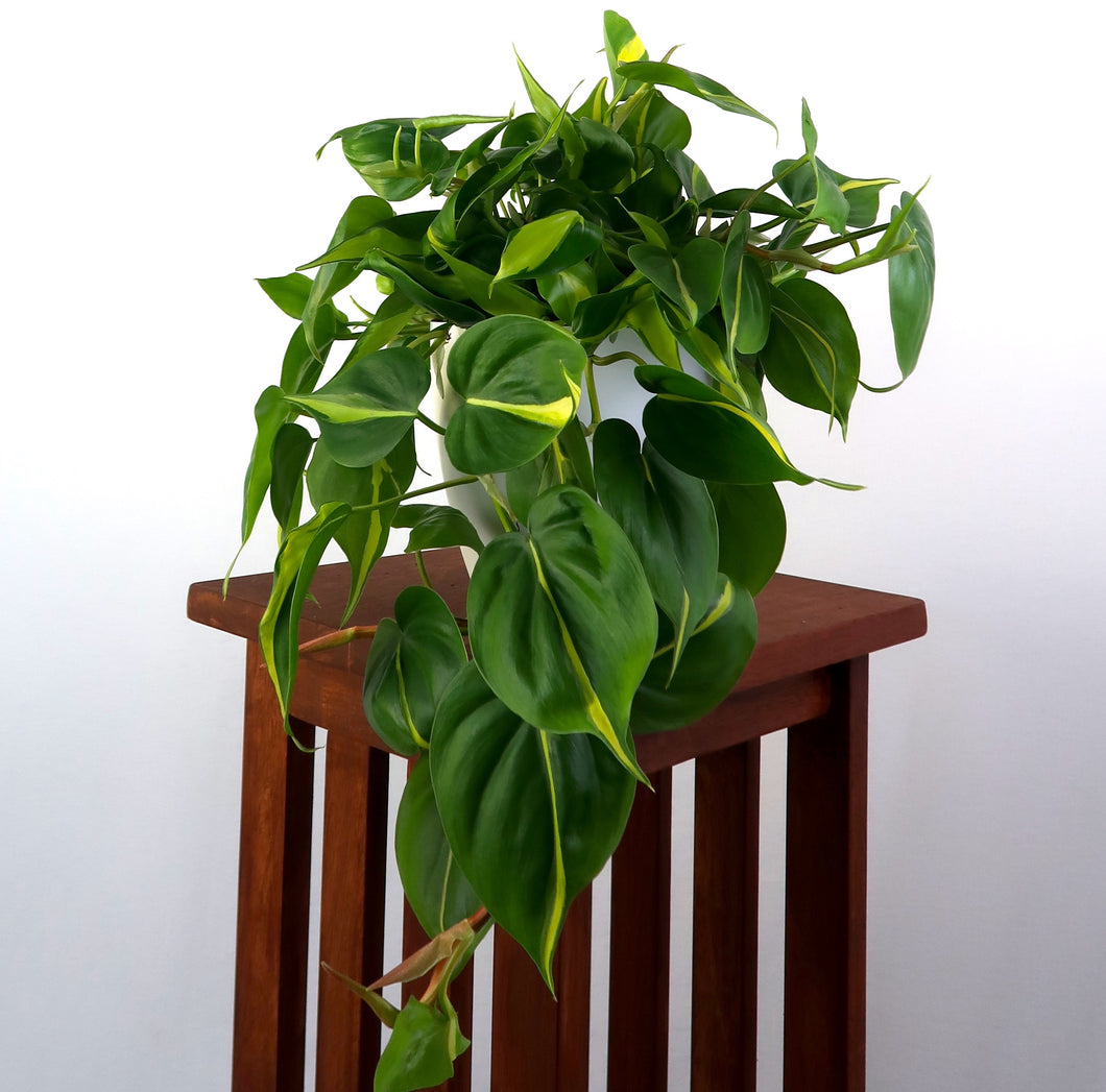Large Philodendron Brasil in 6