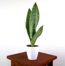"Medium Snake Plant  (Sansevieria robusta) in 4"" 3D Printed BioPot™"
