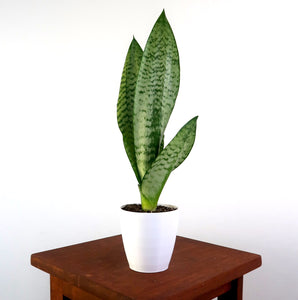 Snake Plant / Mother in Law's Tongue (Sansevieria Robusta) Air Purifying Plant