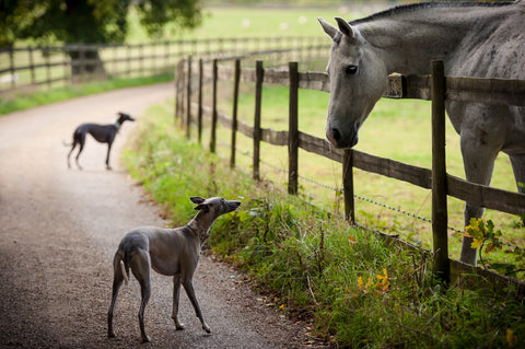 kerry jordan whippet snippets photography