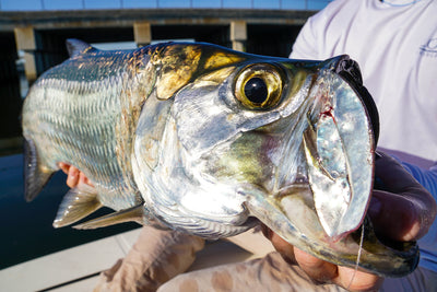 Guerrilla Tarpon Fishing Florida's West Coast