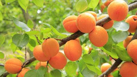 Apricot for natural organic skincare by Vedani Botanicals