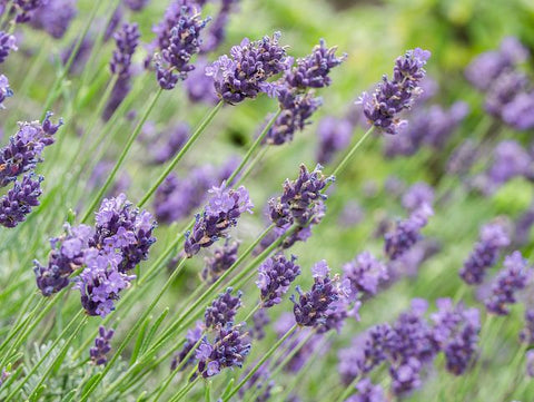 Lavender for natural organic skincare by Vedani Botanicals