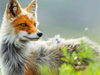 Fox Gazing - Paint By Numbers Kit