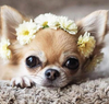Spring Chihuahua - Diamond Painting Kit