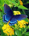 Blue Butterfly on Yellow Flowers - Paint By Numbers Kit