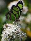 Green Butterfly on White Flowers - Paint By Numbers Kit