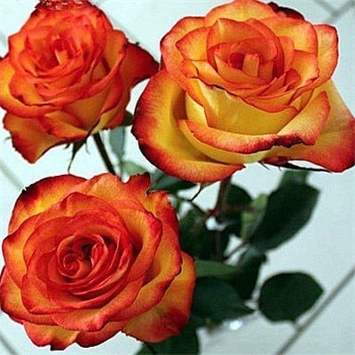 Orange Tip Roses - Diamond Painting Kit