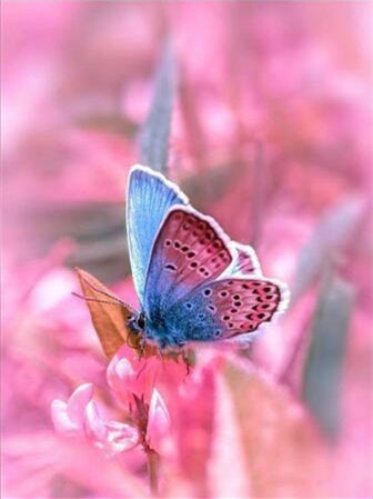 Pink and Blue Butterfly - Paint By Numbers Kit