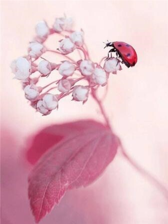 Ladybug on Flower Buds - Paint By Numbers Kit