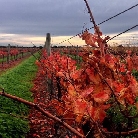 The Sagrantino vineyard in Autumn