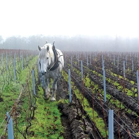 Horse plowing the Chartogne-Taillet vineyards