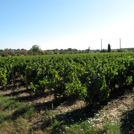 The vines of Chateau Cambon