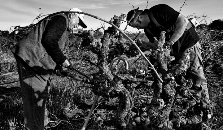 Father Vince and son Marco pruning their gnarly old Grenache vines