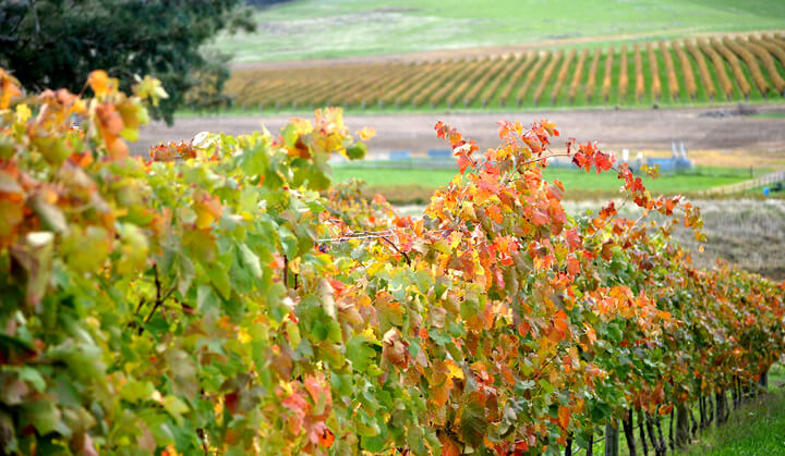 The gorgeous Domenica vineyard after vintage