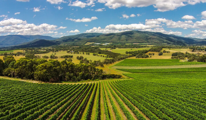 One of the beautiful Yarra Valley vineyards under the custody of Giant Steps