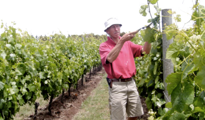 John Nagorcka hand pruning his biodynamically farmed vineyard