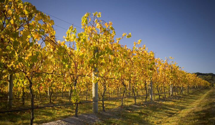 One of the gorgeous Kooyong vineyards in Autumn