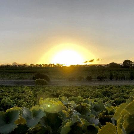 Sunrise on Taranga vineyard