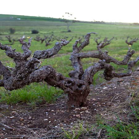 Old bush vines managed by the Powells