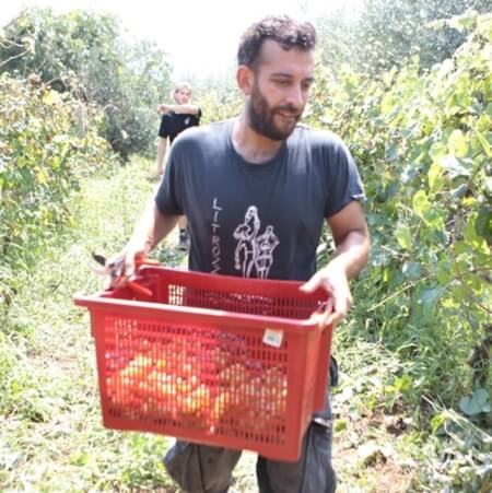 Arcangelo Galuppi during harvest