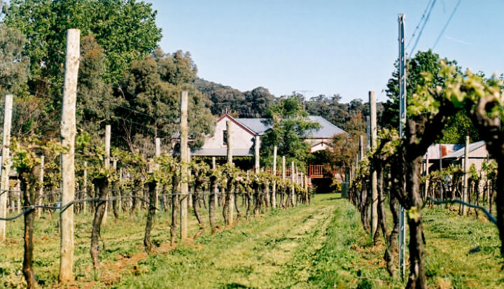 The gorgeous and immaculate Sorrenberg Vineyard