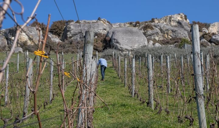 The Hermit Ram alone in the vineyard