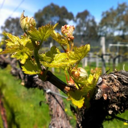 One of the Willem Kurt vineyards at bud burst