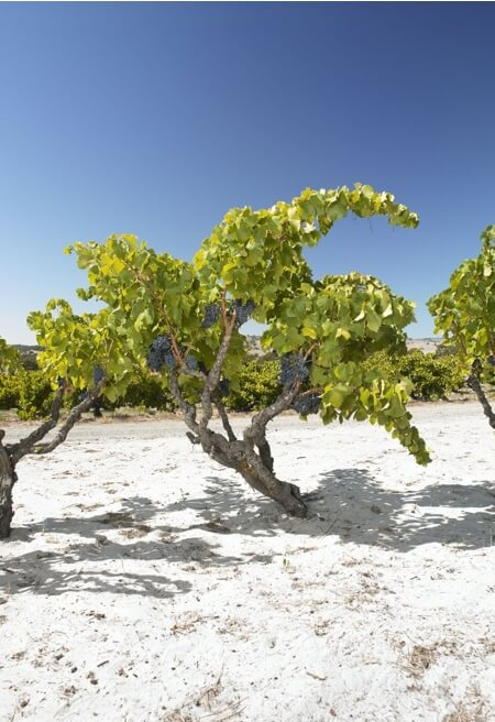 Beautiful old Grenache bush vines growing in the sand