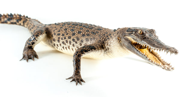 Taxidermy Saltwater Crocodile