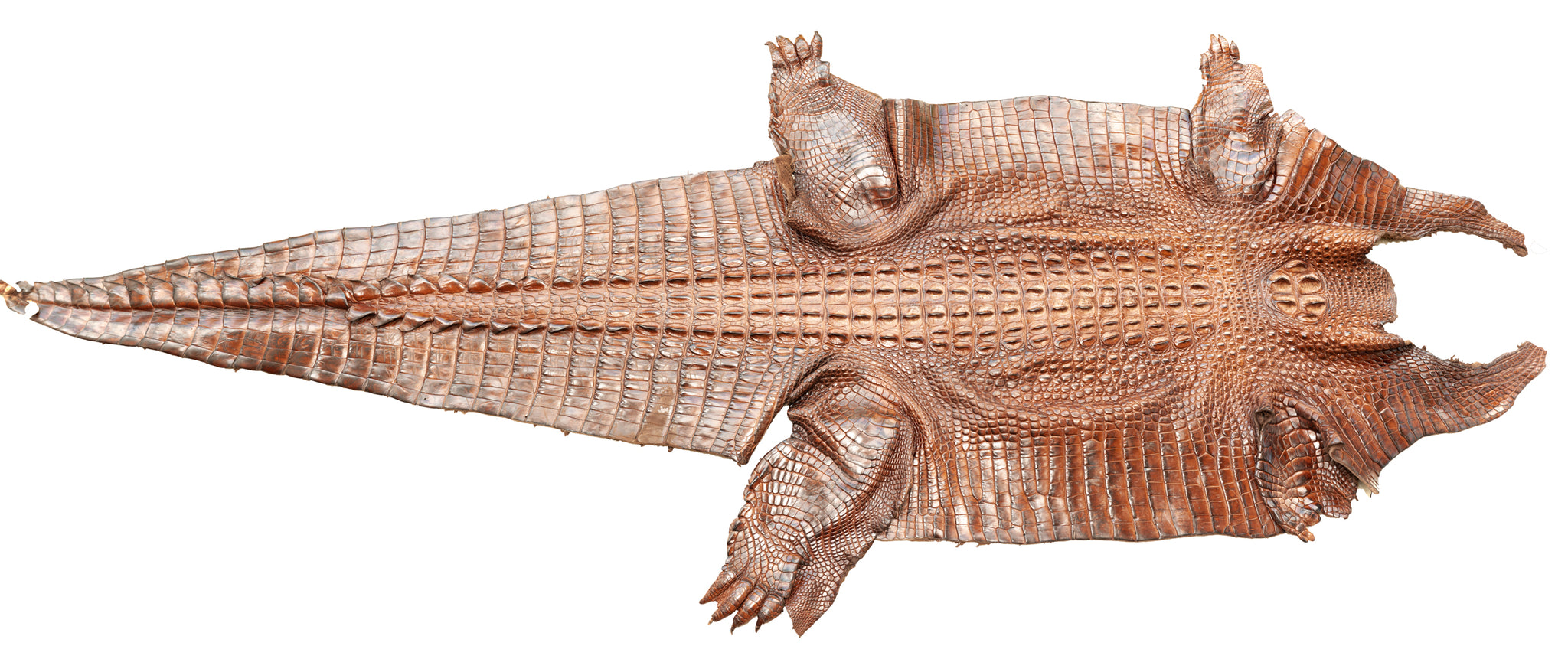 Crocodile Skin Taxidermy