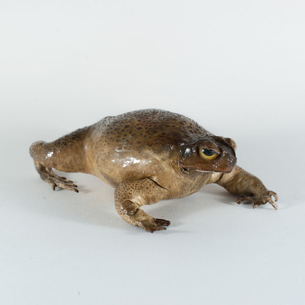 Genuine Taxidermy Cane Toad Fridge Magnet