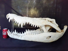 Saltwater Crocodile Skull Taxidermy