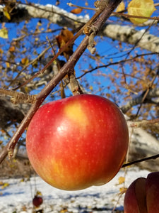 Red Apple Close up in Winter Orchard