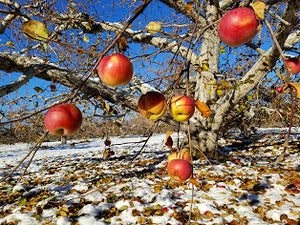 Apples as Winter Approaches