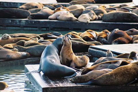 Sea Lions Kissing in SF Bay