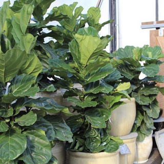 Fiddle Leaf Fig Bush Ficus Tree
