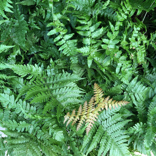 Fern Autumn Houseplant