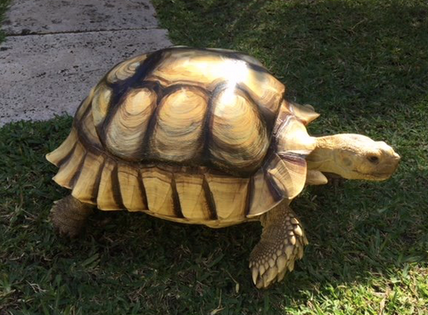 George the tortoise